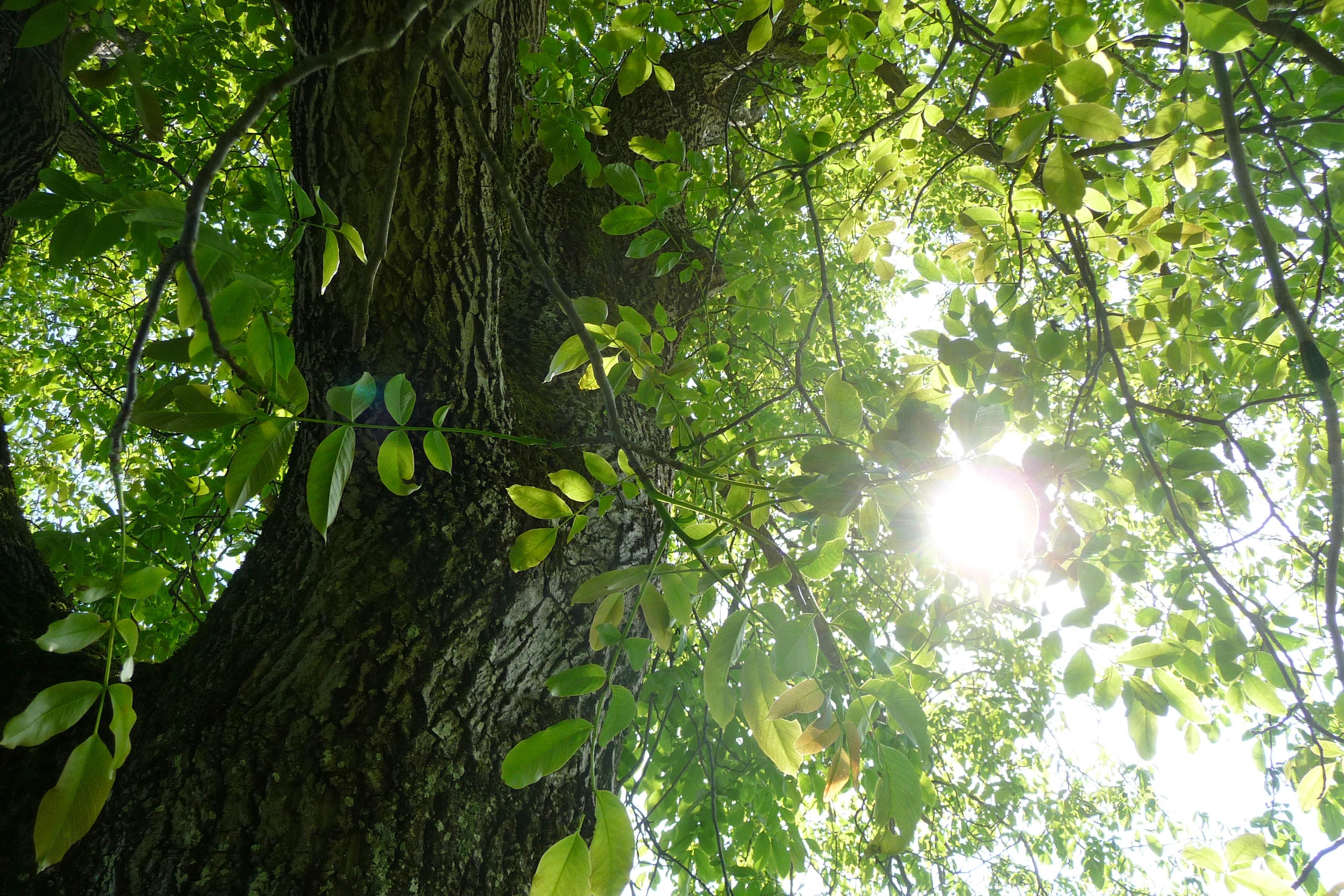 Lichtbaum 1